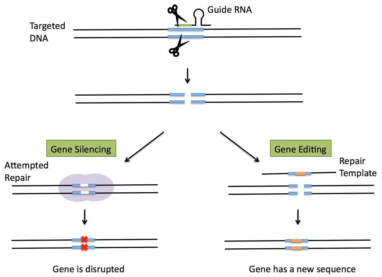CRISPR-Genetic-Engineering-Fig-2