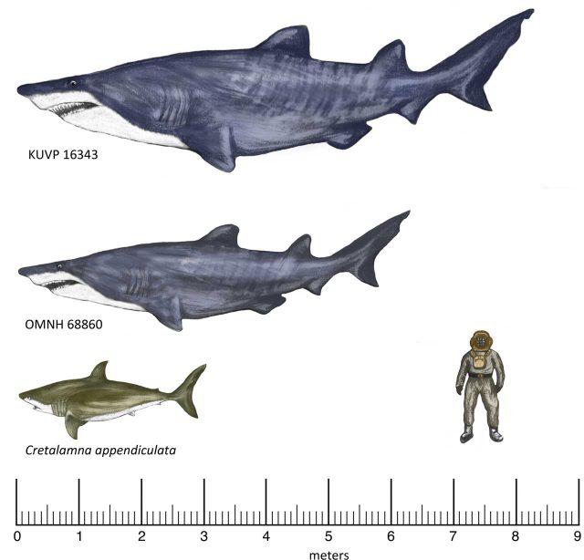 Mesozoic-shark-Texas-Fossil